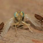 Evolusjonen ga denne fruktfluen bilder av maur på vingene